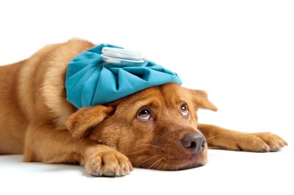 iStock_000010681321XSmall קורס טכנאי כלבנות וטרינרי
